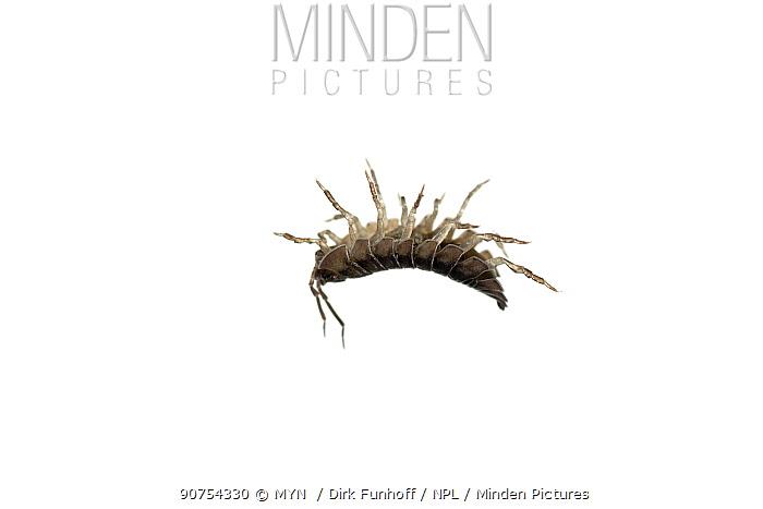 Woodlouse (Armadillidium vulgare) upside down, Staudernheim, Germany. Meetyourneighbours.net project.