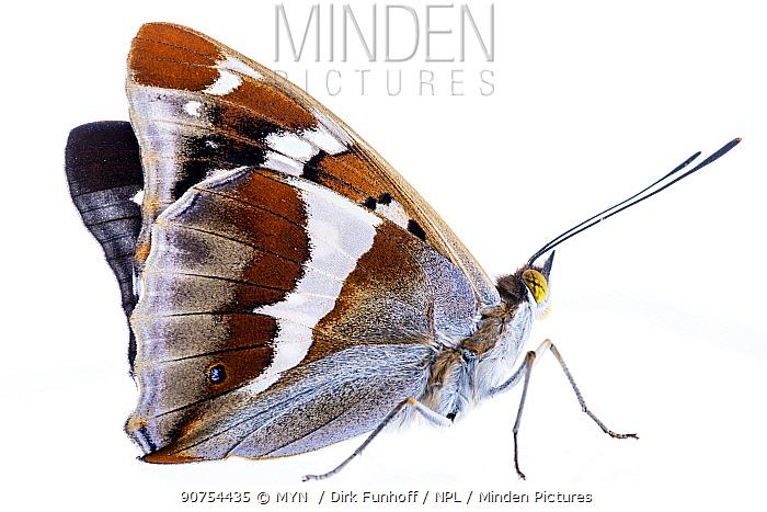 Purple emperor butterfly (Apatura iris) adult showing underwing, Mannheim,  Germany. Meetyourneighbours