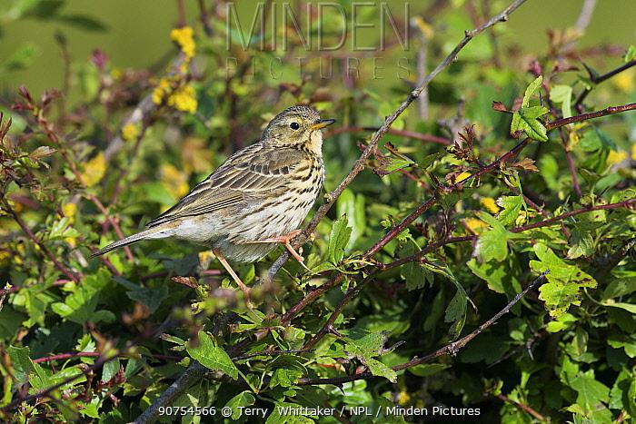 Meadow pipit (Anthus pratensis).  Kent, UK. July