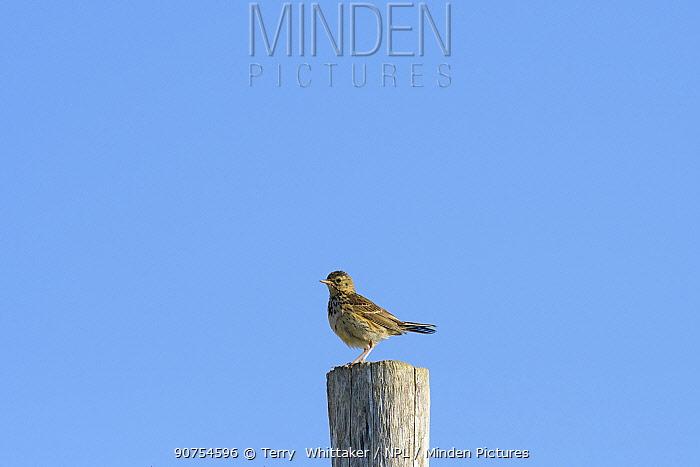 Skylark (Alauda arvensis) perched on post,  White Cliffs, Kent. July