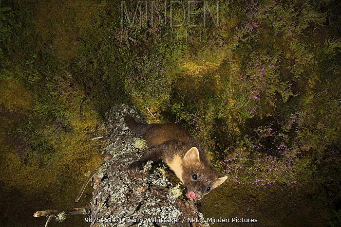 Pine marten (Martes martes), Black Isle, Scotland, UK. September. Camera trap image