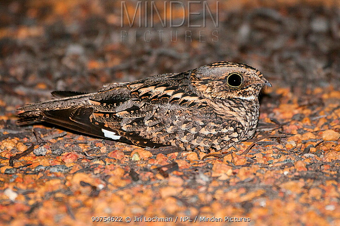 Spotted Nightjar (Eurostopodus argus), nesting on the ground, native to mainland Australian, New Guinea and surrounding islands.