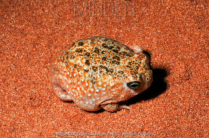 Desert Spadefoot Toad (Notaden nichollsi) at night, native to the deserts of Northern and Western Australia.