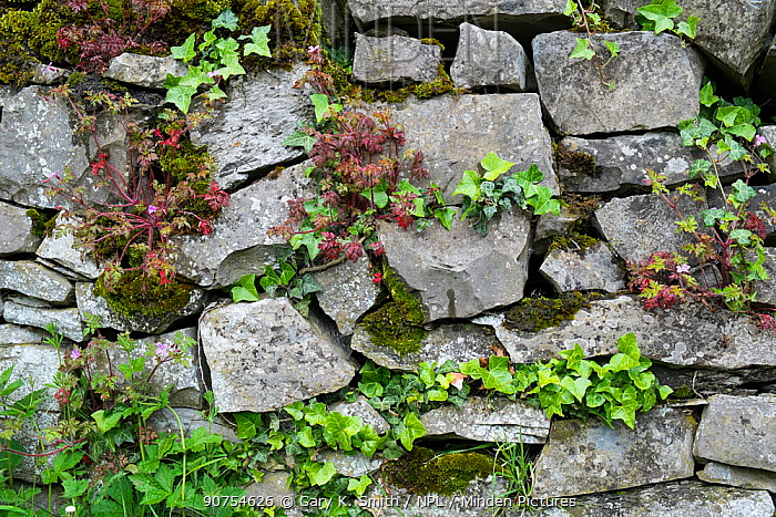 Drystone wall with ivy and moss, Peak District National Park, Derbyshire, UK