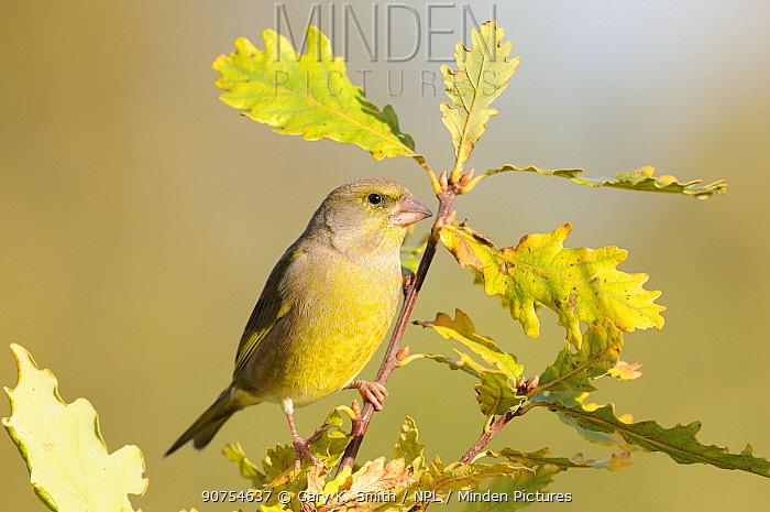 Greenfinch (Carduelis chloris) male perched on Oak branch, Norfolk, UK, November