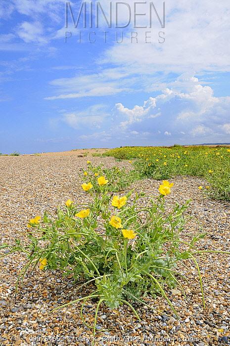 Yellow horned poppy (Glaucium flavum) growing on shingle beach, Norfolk, UK, August