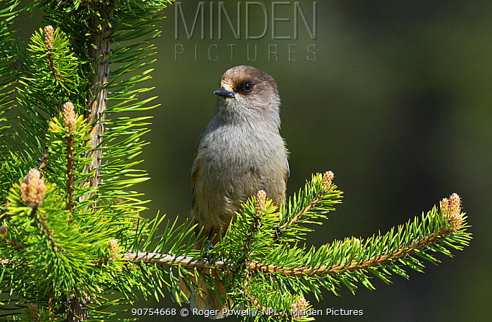 Siberian jay (Perisoreus infaustus) perched in a youg Scots Pine. Pokka, Inari, Finland, Lapland.