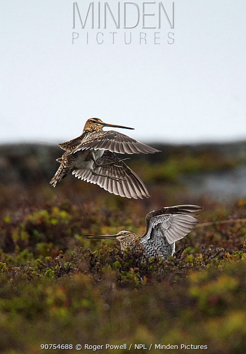 Common snipe (Gallinago gallinago) two males fighting over a female and territory. Porsanger, Finmark, Norway.