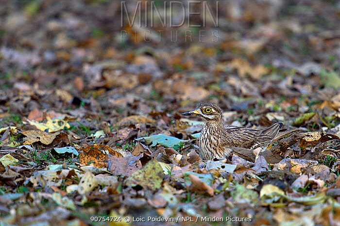 Eurasian thick-knee (Burhinus oedicnemus) nesting on the ground, camouflaged against the leaves, Pench National Park, Madhya Pradesh, India, March