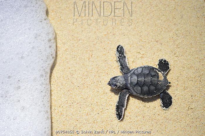 Green sea turtle (Chelonia mydas) hatchling making way to sea, Bonaire, Leeward Antilles, Caribbean region, Netherlands Antilles