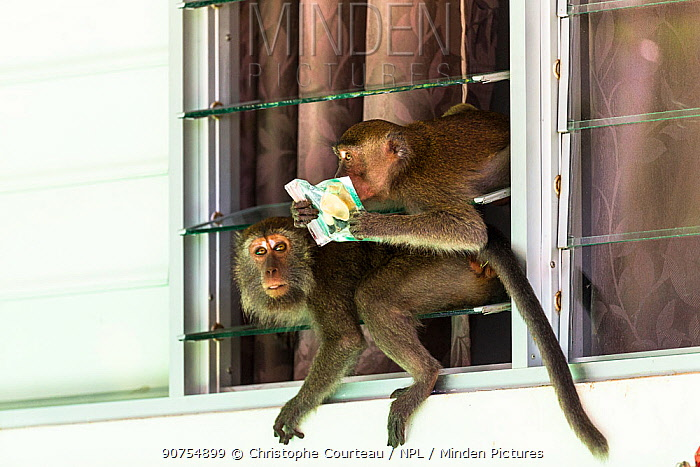 Crab eating macaque (Macaca fascicularis) group stealing food from tourist bungalow by climbing in through the window. Bako National Park. Sarawak State. Borneo. Malaysia.