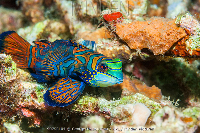 Mandarinfish (Sychiropus splendidus).  Lembeh Strait, North Sulawesi, Indonesia.
