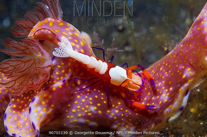 Emperor shrimp (Periclemenes imperator) on a nudibranch (Ceratosoma sp.)  Lembeh Strait, North Sulawesi, Indonesia.