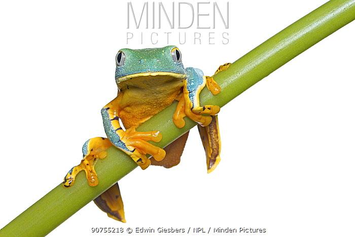 Splendid leaf frog (Cruziohyla calcarifer) captive