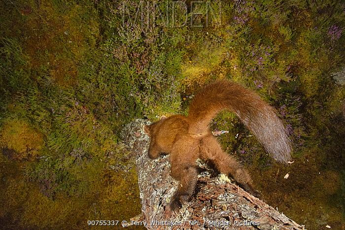 Pine marten (Martes martes) climbing down tree, Black Isle, Scotland, UK. September. Photographed by camera trap.