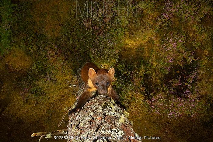 Pine marten (Martes martes) climbing up a tree, Black Isle, Scotland, UK. September. Photographed by camera trap.