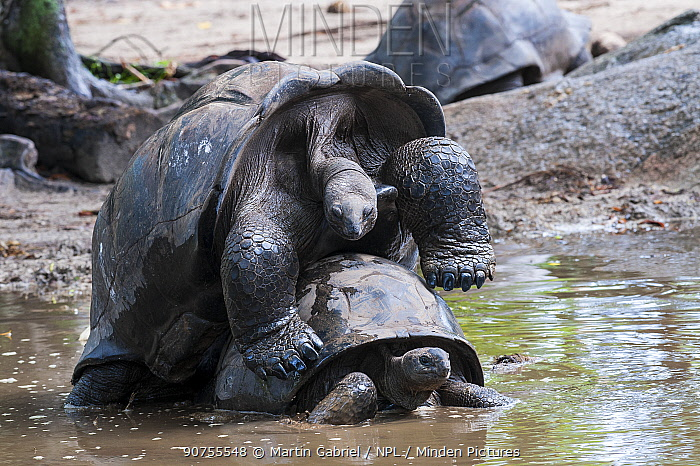 Aldabra Giant Tortoise (Dipsochelys dussumieri), mating couple, La Digue Island, Republic of Seychelles. Captive.