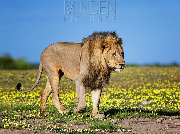 Lion (Panthera leo) male, walking amongst Devil's-thorn yellow flowers (Tribulus terrestris) Etosha National Park, Namibia.