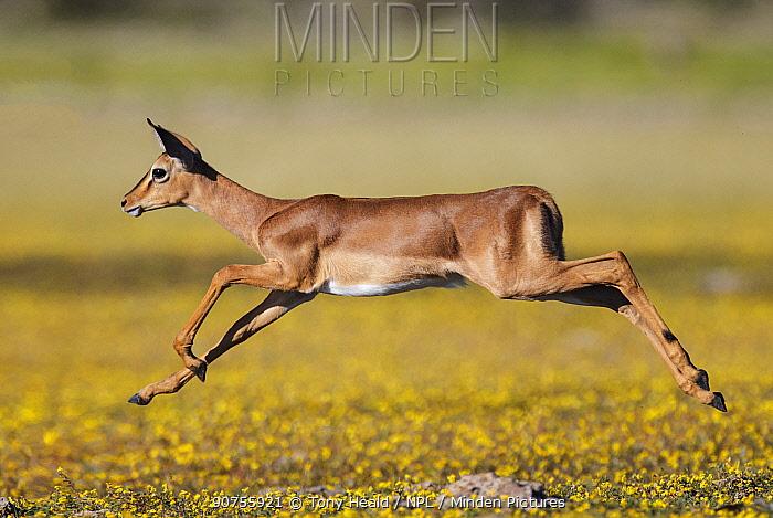 Black-faced impala (Aepyceros melampus petersi) female leaping above Devil's-thorn yellow flowers  (Tribulus terrestris) Etosha National Park, Namibia.