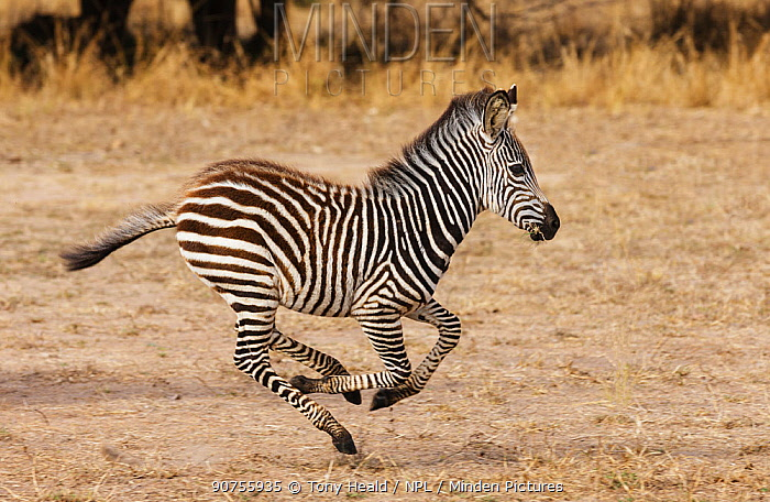 Zebra  (Equus burchelli) foal running, South Luangwa NP. Zambia June.