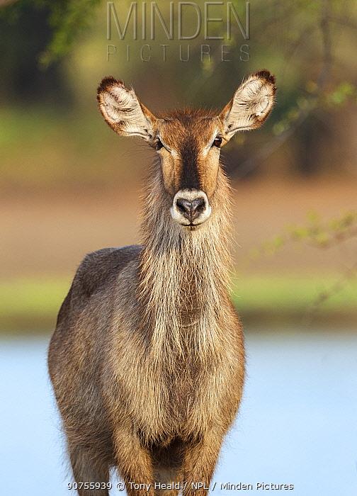 Waterbuck (Kobus ellipsiprymnus) female. South Luangwa NP. Zambia.