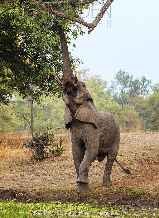African elephant (Loxodonta africana) feeding from high branch, South Luangwa NP. Zambia.