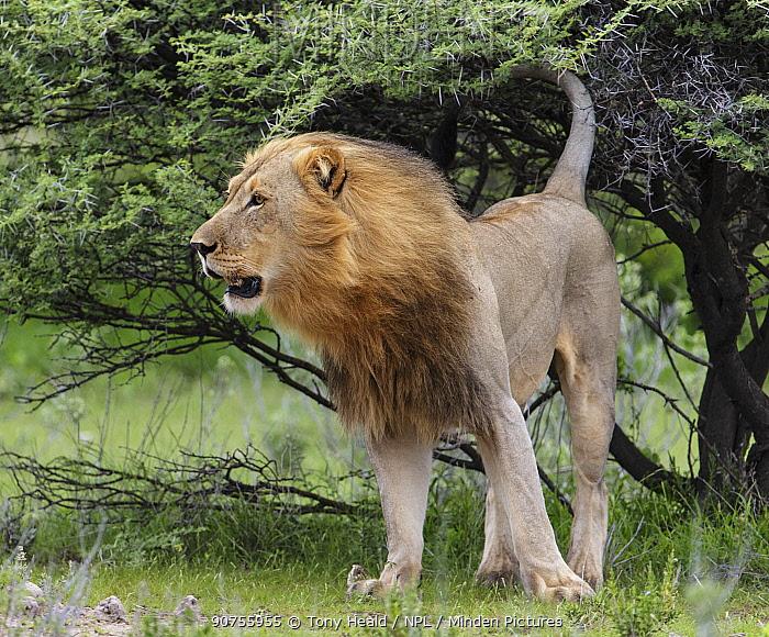 African lion (Panthera leo) male, marking by spraying Etosha National Park, Namibia.