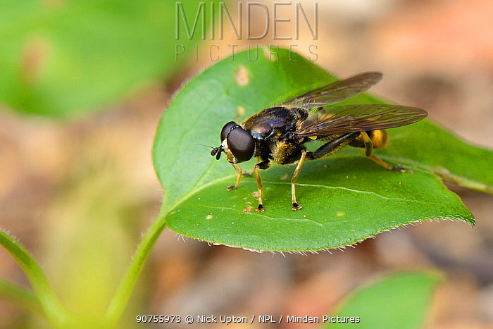 Hoverfly (Xylota sylvarum) a woodland species declining in the UK, resting on a leaf in a garden, Wiltshire, UK, July.