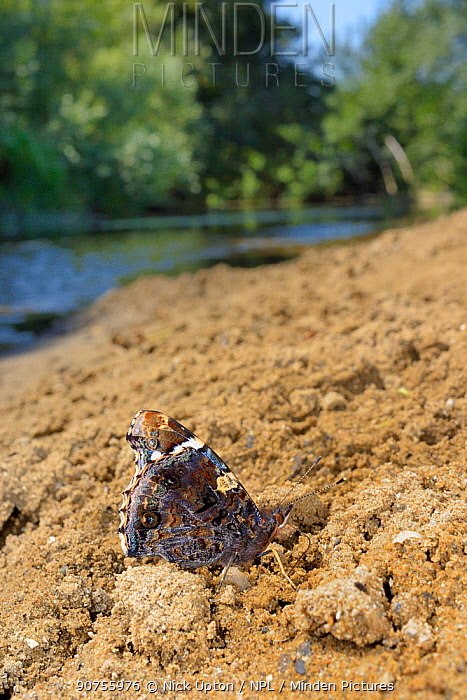 Red admiral butterfly (Vanessa atalanta) mud-puddling for moisture and minerals on riverbank sand, River Avon, Lacock, Wiltshire, UK, July.