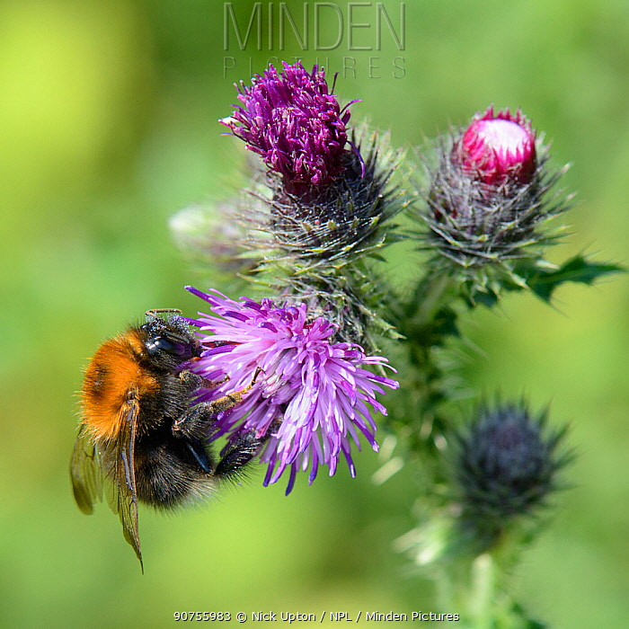 Tree bumblebee (Bombus hypnorum) foraging on Creeping thistle (Cirsium arvense) flower in a meadow, Wiltshire, UK, July.