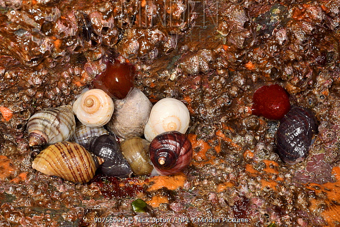 Group of Dog whelks (Nucella lapillus) in an intertidal rock crevice among Acorn barnacles (Balanus perforatus) and Beadlet anemones (Actinia equina), Cornwall, UK, April.