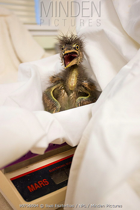 Rescued Black-crowned night heron (Nycticorax nycticorax) chick, aged less than 1 week, on weighing scale, International Bird Rescue, Fairfield, California, USA.