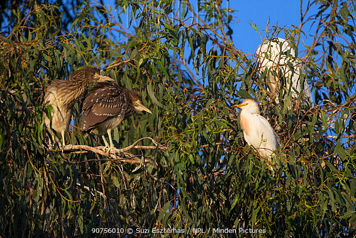 Two Black-crowned night heron (Nycticorax nycticorax) chicks, aged 4 weeks, at rookery with Cattle egret (Bubulcus ibis), Sonoma County, California, USA.