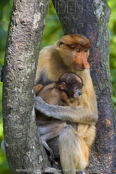 Proboscis monkey (Nasalis larvatus) mother holding infant, Sabah, Malaysia.