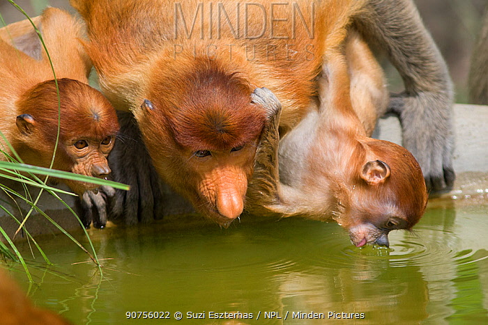 Proboscis monkey (Nasalis larvatus) mother and infants, aged approximately 2-3 months, drinking, Sabah, Malaysia.