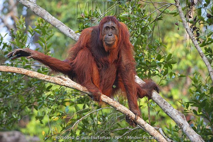 Bornean orangutan (Pongo pygmaeus) female in tree, Tanjung Puting National Park, Indonesia.