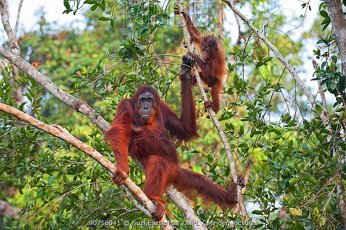 Bornean orangutan (Pongo pygmaeus) mother and infant, aged 2 years, Tanjung Puting National Park, Indonesia.