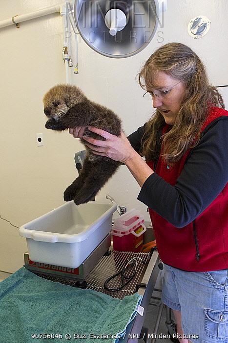 Sea otter (Enhydra lutris) orphaned pup, aged 3 weeks, being weighed by veterinarian, Dr. Carrie Goertz, Alaska Sea Life Center, Seward, Alaska, USA.