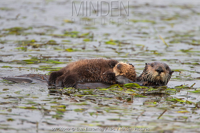 Sea otter (Enhydra lutris) mother and pup, aged 2 weeks, Monterey, California, USA.