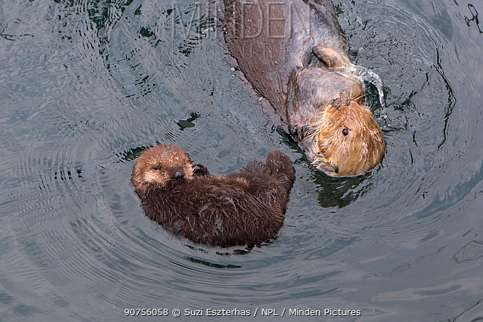 Sea otter (Enhydra lutris) mother with sleeping newborn pup (aged 3 days) Monterey, California, USA.
