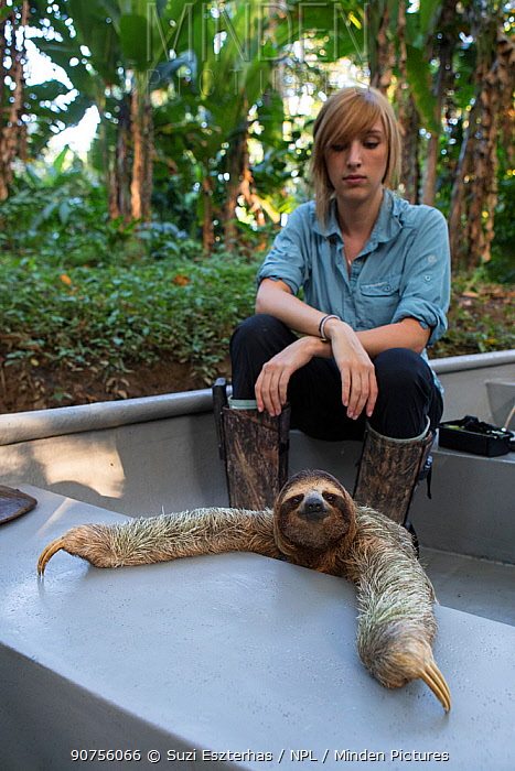 Brown-throated Three-toed sloth (Bradypus variegatus) wearing a sloth backpack radio transmitter travelling by boat with Rebecca Cliff, Sloth Biologist, to a release site, Aviarios Sloth Sanctuary, Costa Rica. Model released.