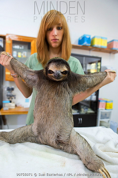 Brown-throated Three-toed sloth (Bradypus variegatus) being examined by Rebecca Cliff, Sloth Biologist, prior to putting on a sloth backpack radio collar before release, Aviarios Sloth Sanctuary, Costa Rica. Model released.