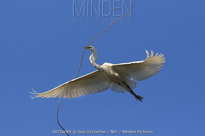 Great egret (Ardea alba) in flight, carrying nesting material, Sonoma County, California, USA.