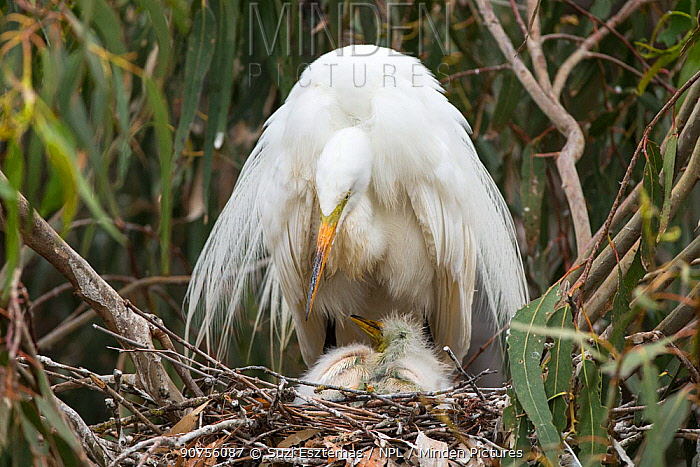 Great egret (Ardea alba) using wings to shield chicks, aged one week, in nest, Sonoma County, California, USA. *Digitally removed twig in foreground.