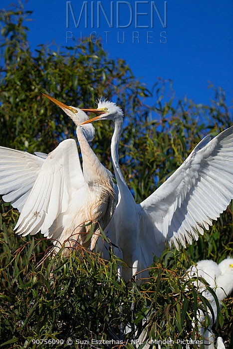 Great egret (Ardea alba) chick, aged 4-5 weeks, harrassing parent for food, Sonoma County, California, USA.