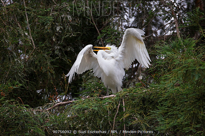 Great egret (Ardea alba) fledgling, aged 4-5 weeks, displaying in tree, Sonoma County, California, USA.