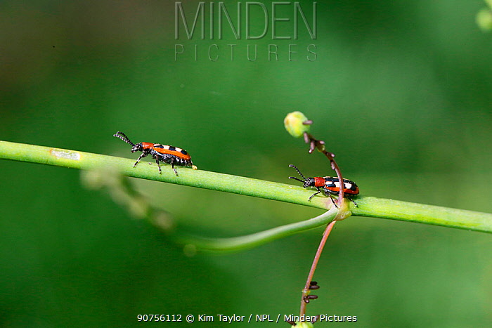 Asparagus beetles (Crioceris asparagi) with eggs. Surrey, England, UK, May.