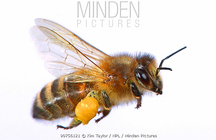 Honey Bee (Apis mellifera) worker in flight carrying pollen. Surrey, England, UK. July.