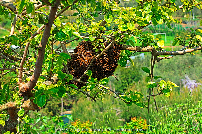 Honey Bee (Apis mellifera) swarm in mulberry tree. Italy, April.