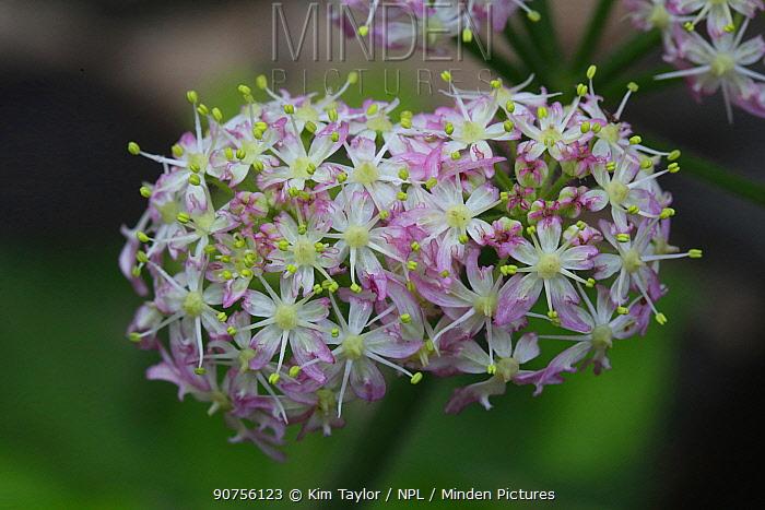 Hogweed (Heracleum sphondylium) flowers. Surrey, England